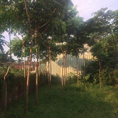 Bán cây Sấu công trình số lượng lớn, đảm bảo uy tín