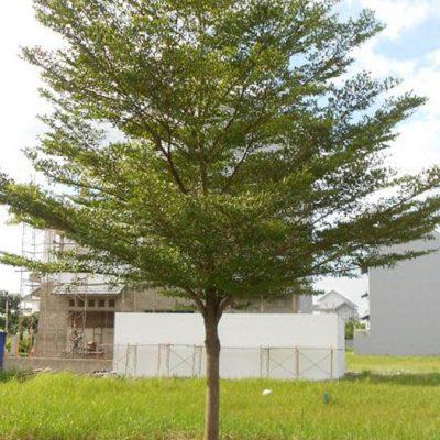Bán cây Bàng Đài Loan cây công trình – Đảm bảo uy tín chất lượng