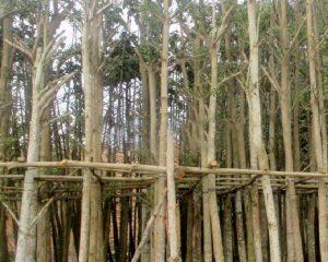 cay bang dai loan vuon cay hoa binh 300x240 - 5 loại cây công trình giá rẻ - Uy tín, chất lượng tại Hà Nội