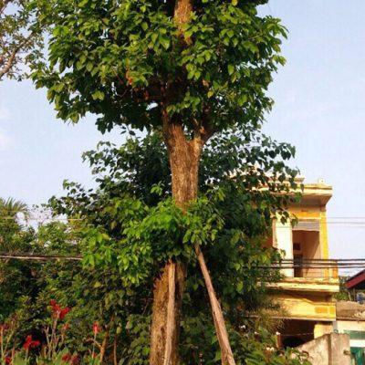 cay loc vung bong mat vuoncayhoabinhvn 400x400 - Bán cây Lộc Vừng công trình giá rẻ  - Đảm bảo uy tín tại Hà Nội