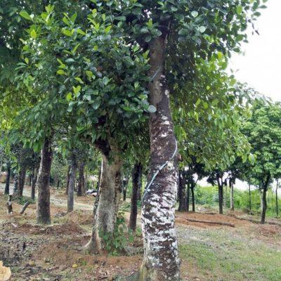 cay mit cong trinh 400x400 - Mua,bán cây mít cổ thụ, cây công trình cam kết chất lượng uy tín