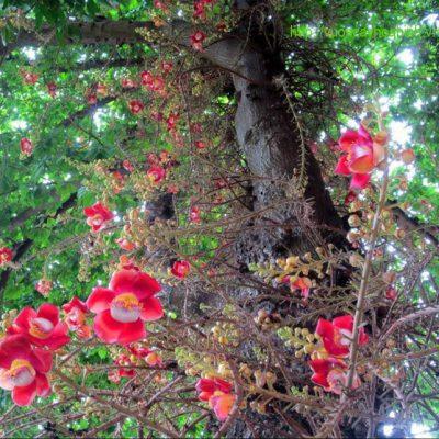 Bán cây Sa La ( Ngọc Kỳ Lân ) uy tín chất lượng, BH 3-6 tháng tại Hà Nội