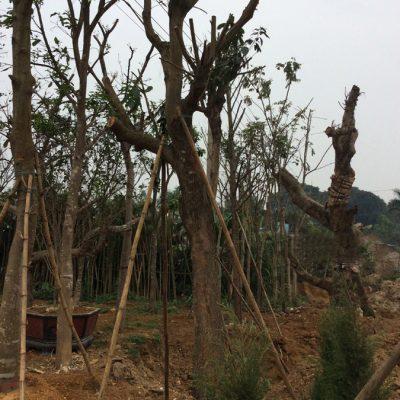 Bán cây Sang công trình đảm bảo uy tín, chất lượng, BH 3-6 tháng