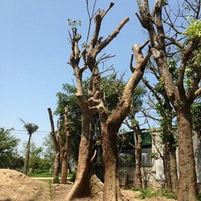 cay sang cong trinh 3 vuoncayhoabinhvn 400x400 - Bán cây Sang công trình đảm bảo uy tín, chất lượng, BH 3-6 tháng