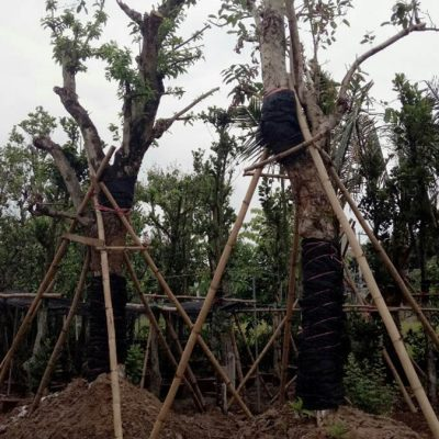 Bán cây Vối trồng công trình , Cây bóng mát uy tín, giá rẻ