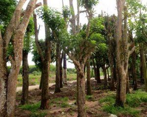 cay voi cong trinh 4 300x240 - 5 loại cây xanh công trình