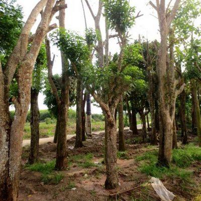 cay voi cong trinh 4 400x400 - Bán cây Vối trồng công trình , Cây bóng mát uy tín, giá rẻ