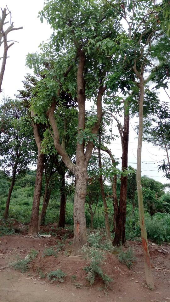 Tác dụng của cây sang