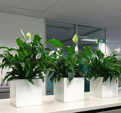 Top 3 loại cây để văn phòng đẹp
