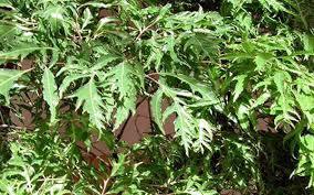 5 cách trồng cây đinh lăng hiệu quả