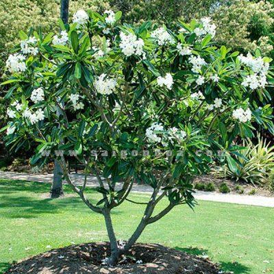 5 tác dụng cây hoa sứ trắng 2019