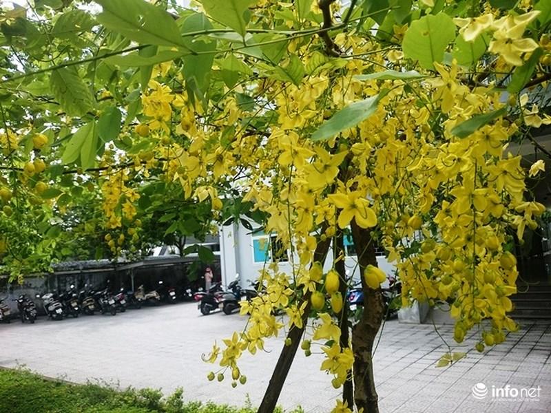 Cây Huỳnh liên hoa vàng (hoàng yến) - Cây Công Trình
