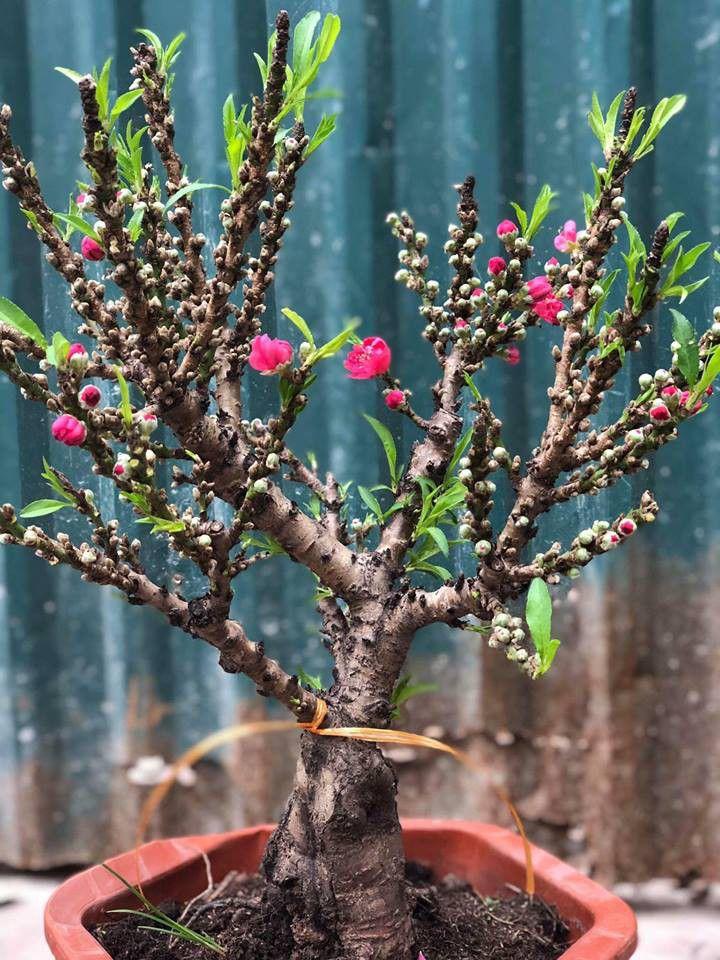 Cây Đào Thất Thốn – loại cây quý hiếm mang nhiều giá trị