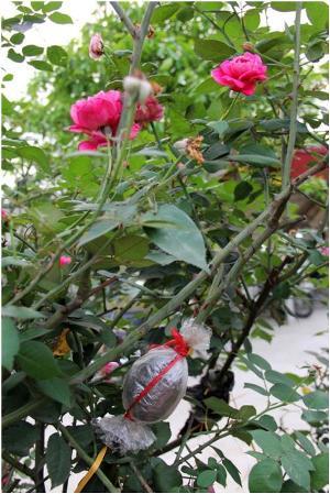 Chiết hoa hồng