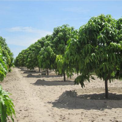 Địa chỉ bán cây xoài giá rẻ uy tín, chất lượng – Bảo hành 12 tháng