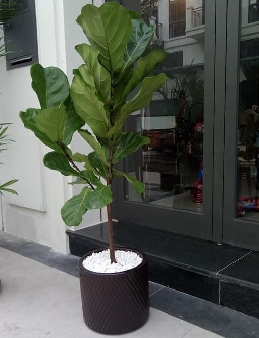 Cây Bàng Singapore 1 nhánh