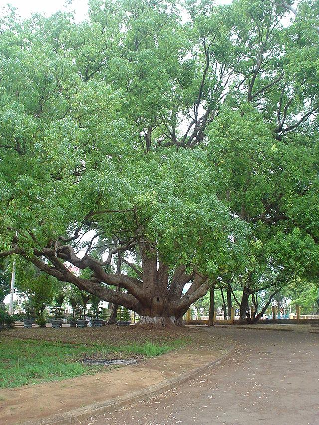Cây bóng mát ít rụng lá được nhiều gia đình trồng nhất năm 2019