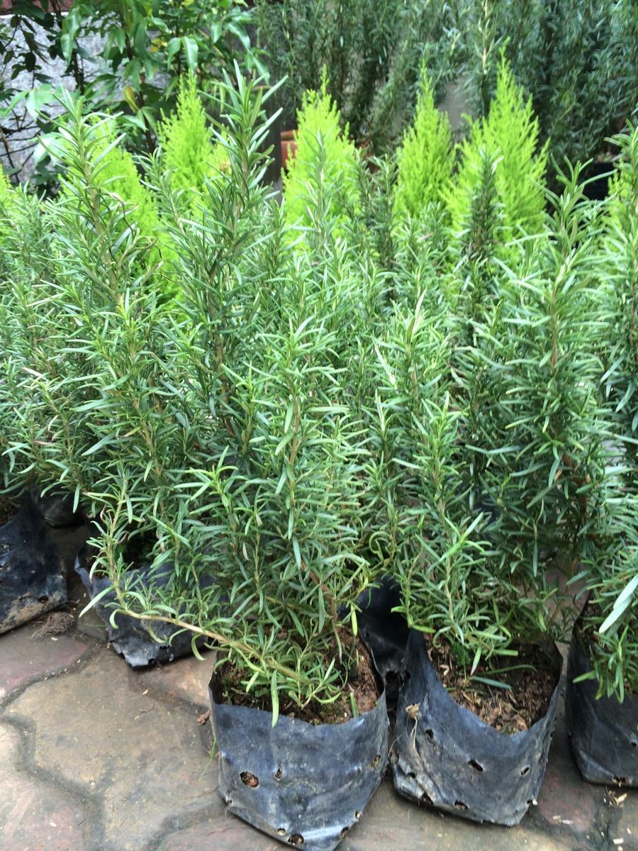 Nguyên nhân và cách phòng ngừa đen lá ở cây Hương Thảo