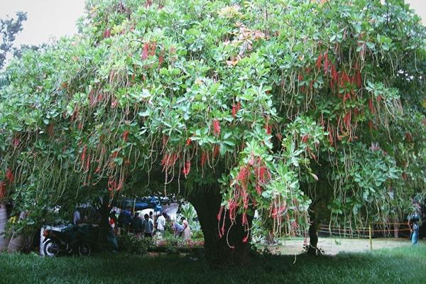 Cách trồng cây Lộc vừng mới bứng