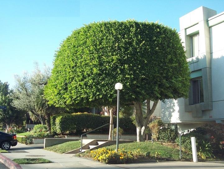 Theo phong thuỷ, trồng cây si trước nhà có tốt không?