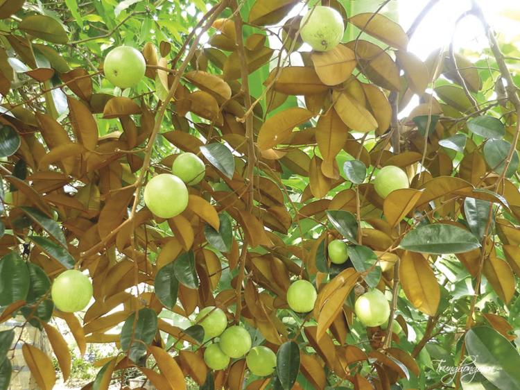 Những cây ăn quả cho bóng mát được ưa chuộng nhất 2019