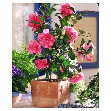 Làm thế nào để có những cây hoa Trà đẹp rạng ngời?