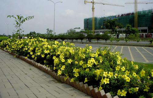 Cây huỳnh liên - loài hoa đẹp trồng trên vỉa hè