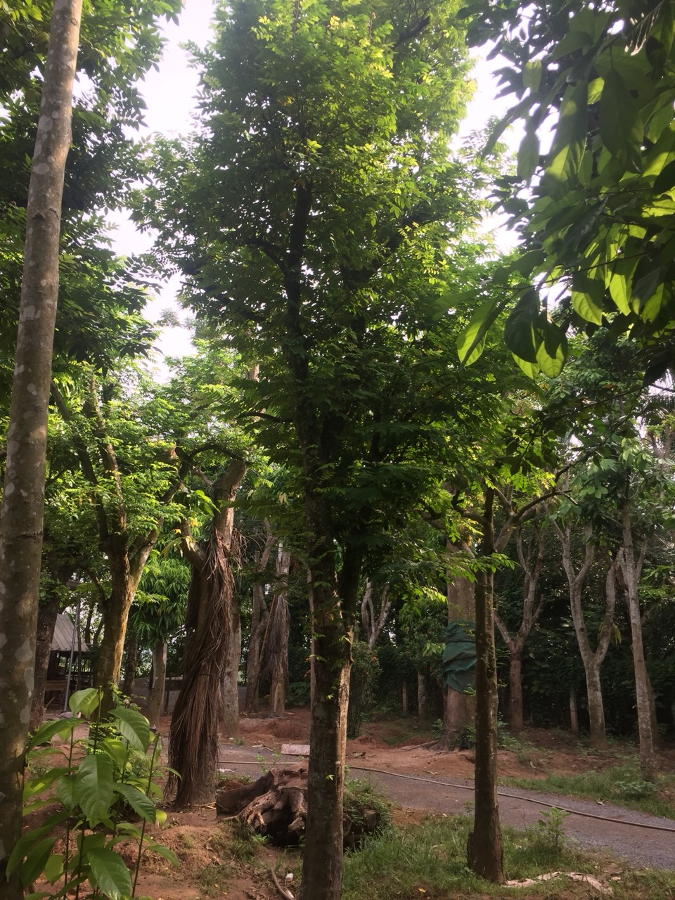 Báo giá cây khế 2019  Bán cây khế công trình bảo hành 3-6 tháng