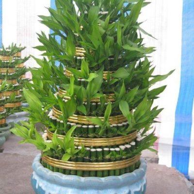 Cách chăm sóc và ý nghĩa của cây phát tài