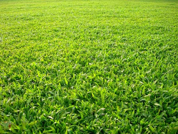 Báo giá cây cỏ lá gừng