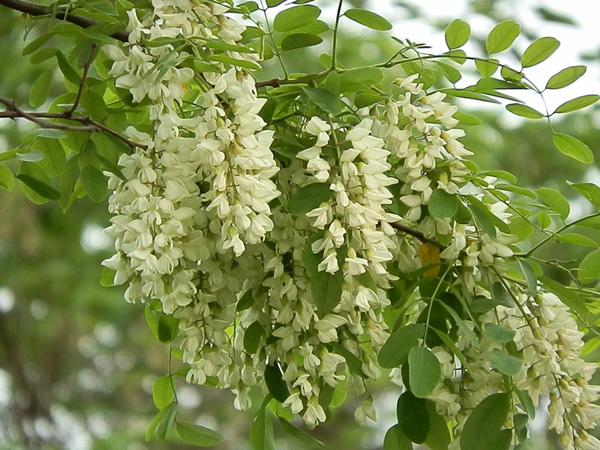 Điều đặc biệt ở cây Hoa Hòe