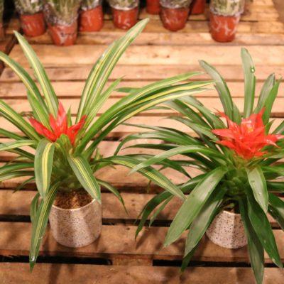 Những điều bạn chưa biết về cây dứa cảnh nến đỏ