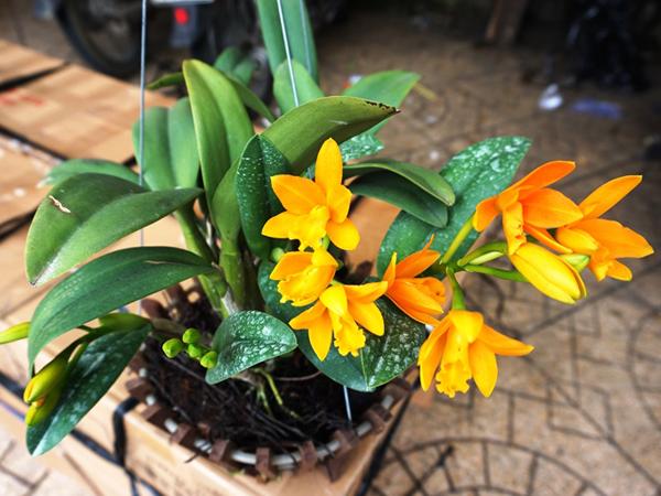 Mua cây hoa địa lan trồng tết 2020 giá rẻ tại Hà Nội