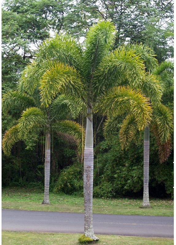 Cây cau đuôi chồn - giải pháp cây xanh công trình