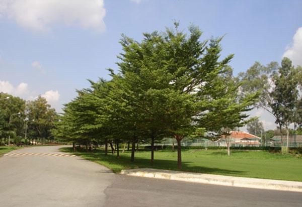 Tìm hiểu về cây Bàng Đài Loan