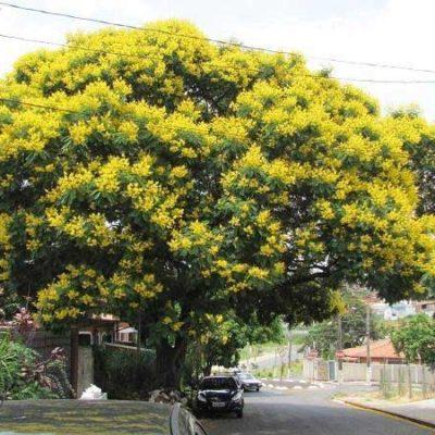 Những điều cần biết về cây giáng hương