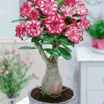Cách chăm sóc cây hoa sứ