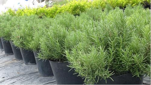 Làm thế nào để sử dụng cây hương thảo đuổi muỗi?