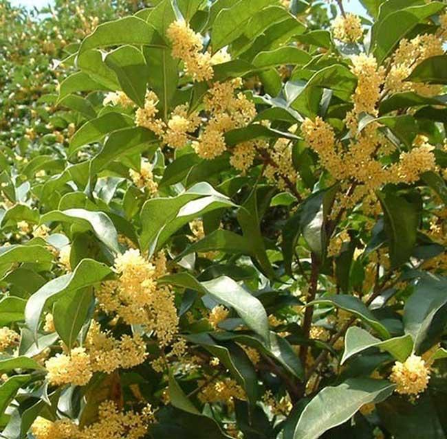 Cây Hoa Mộc - Vẻ đẹp tuyệt vời của tự nhiên