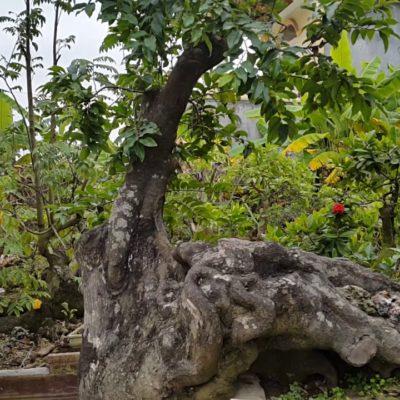 Bán cây thị chất lượng tại Hà Nội