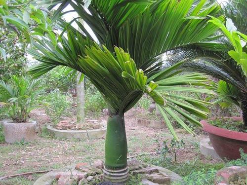 Thông tin chi tiết về cây cau lùn