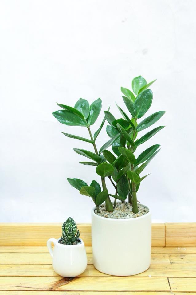 Top 7 loại cây cảnh mini để bàn dễ chăm sóc
