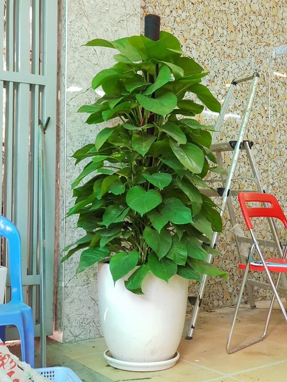 Mẹo nhỏ để có được một cây Trầu Bà tươi đẹp