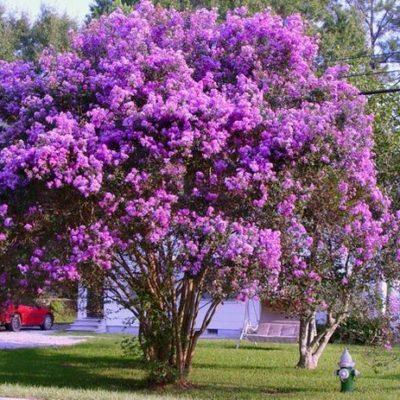 Những loại loại cây bằng lăng có thể bạn chưa biết