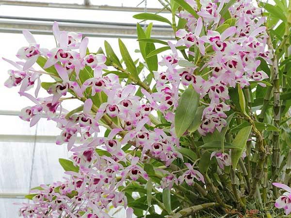 Cách chăm sóc cây hoa Lan Dendro chuẩn xác