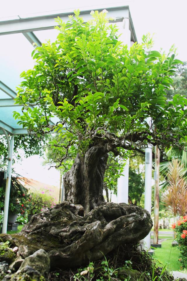 Bán cây thị tại Hà Nội