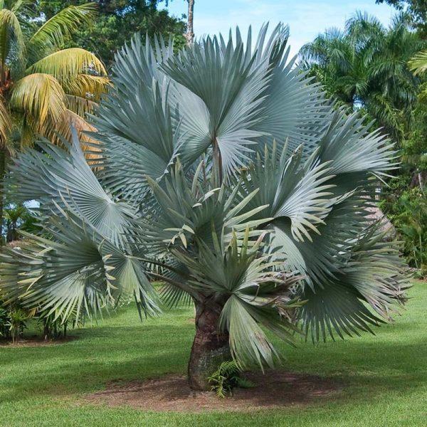 Những điều chưa biết về cây kè Bạc