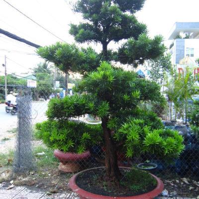 Có nên trồng cây vạn niên tùng hay không?