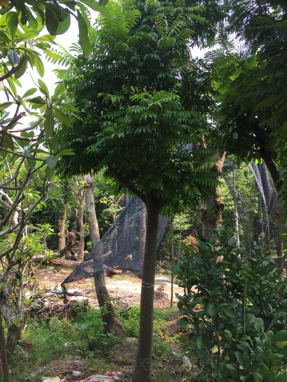 Báo giá cây sấu công trình - Bảo Hành 6 tháng cam kết