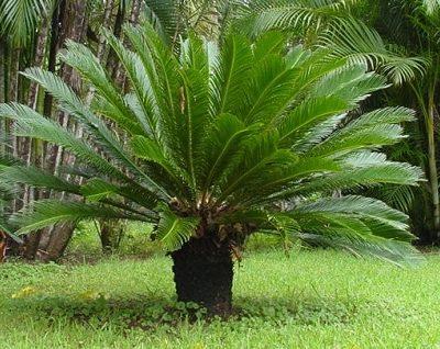 Những điều cần biết về cây Thiên Tuế